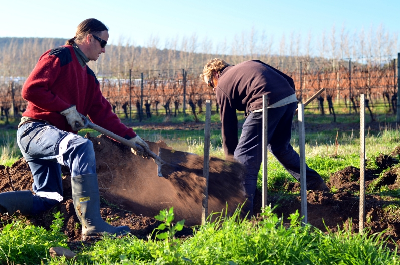 Burying Horn Manure in Biodynamic Wine Making