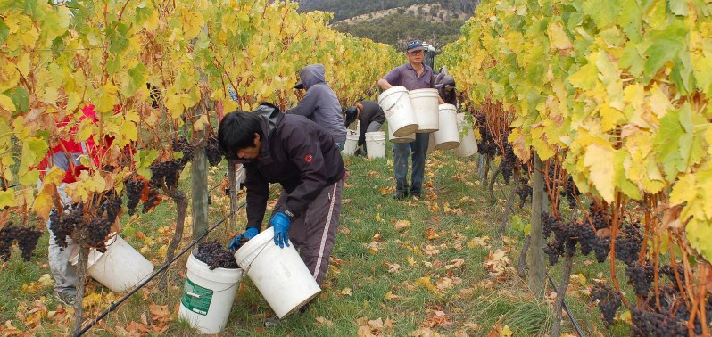 Grapes are handpicked in natural winemaking